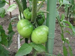 トマト写真